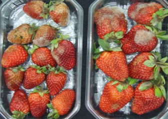 Decayed strawberries not treated by Tarritech technology